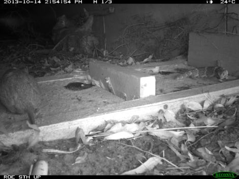 A quenda and a western bobtail sharing use of a fauna underpass at Roe Highway in Leeming