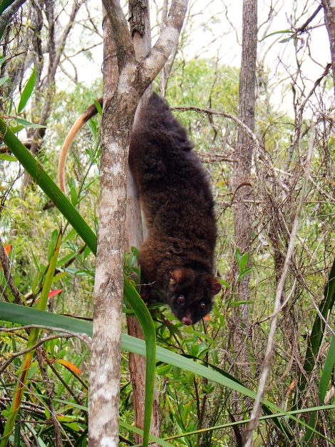 Western ringtail possum (Photo courtesy of Kaori Yokochi)