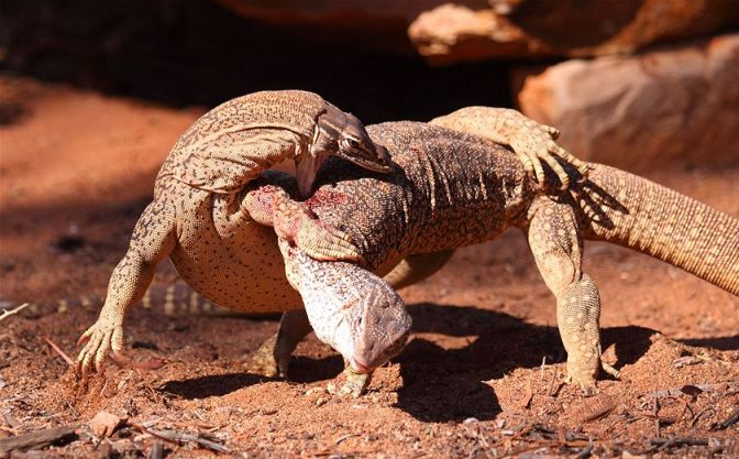 Some goanna wrestling to start the week