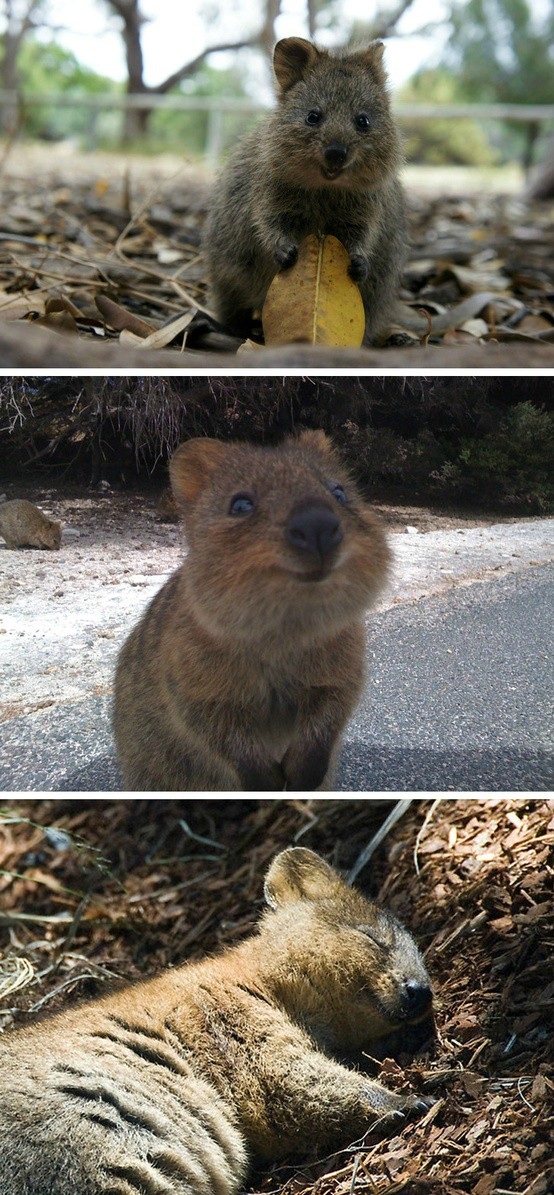 Quokkas: please stop saying they're only found on Rottnest Island